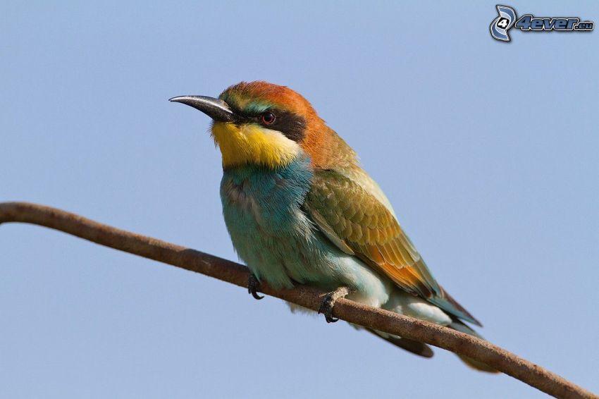Merops apiaster, uccellino sul ramo