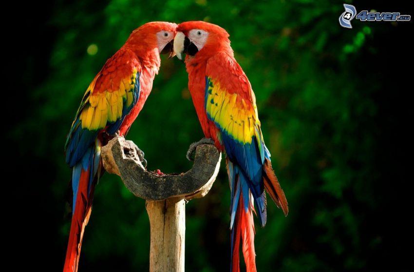 pappagalli Ara