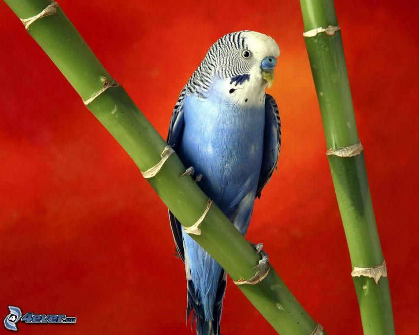 parrocchetto, bambù