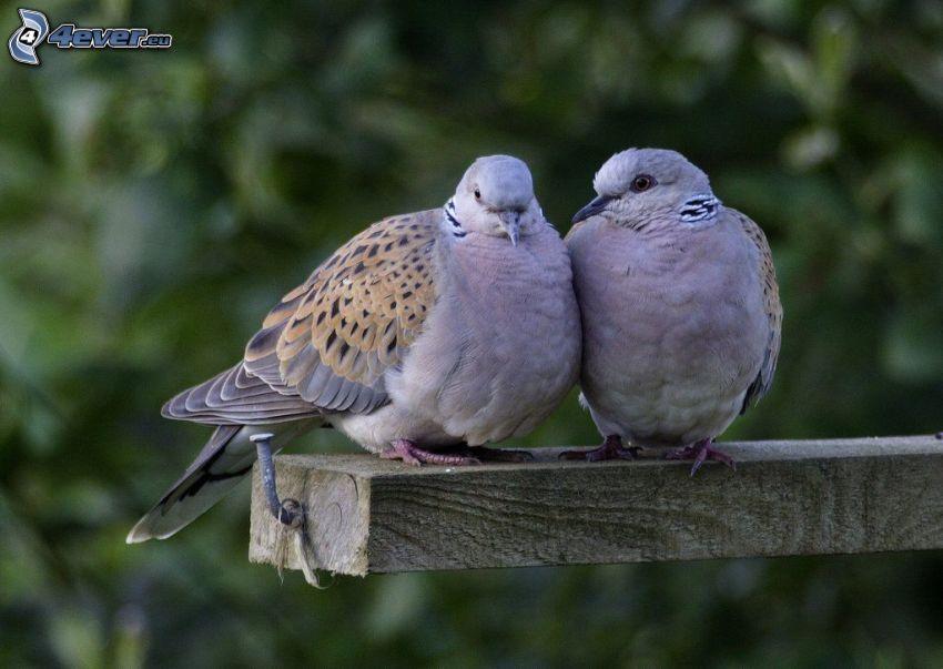 piccioncini