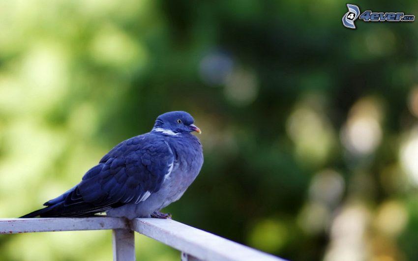 piccione, ringhiera