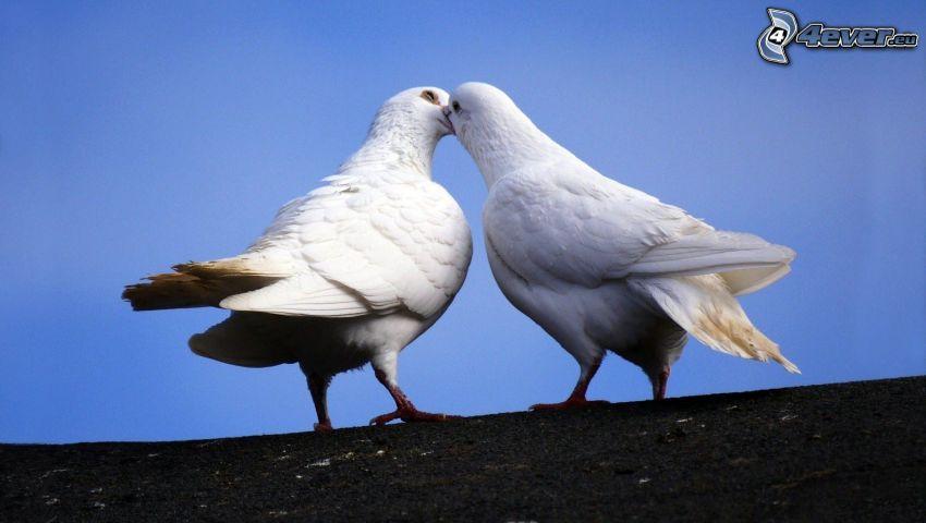 piccioni, bacio