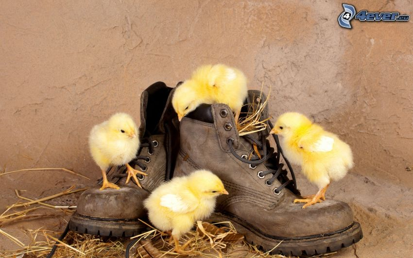 pulcini, scarpe