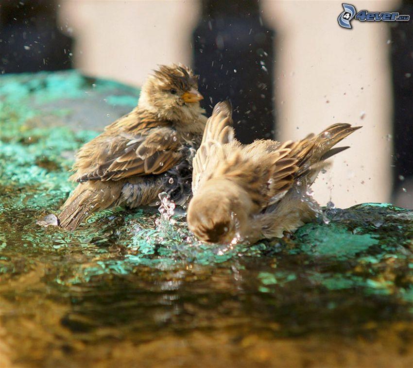 uccelli, acqua, bagno