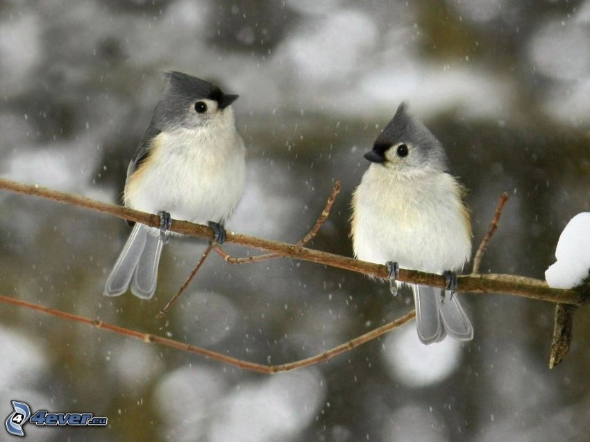 uccelli su ramo