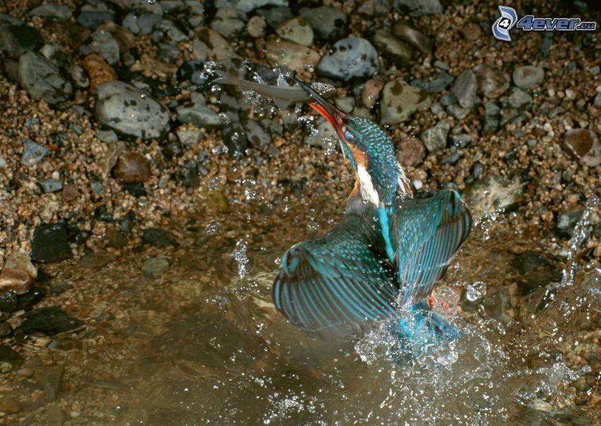 uccellino blu, pesce, caccia, cibo, acqua