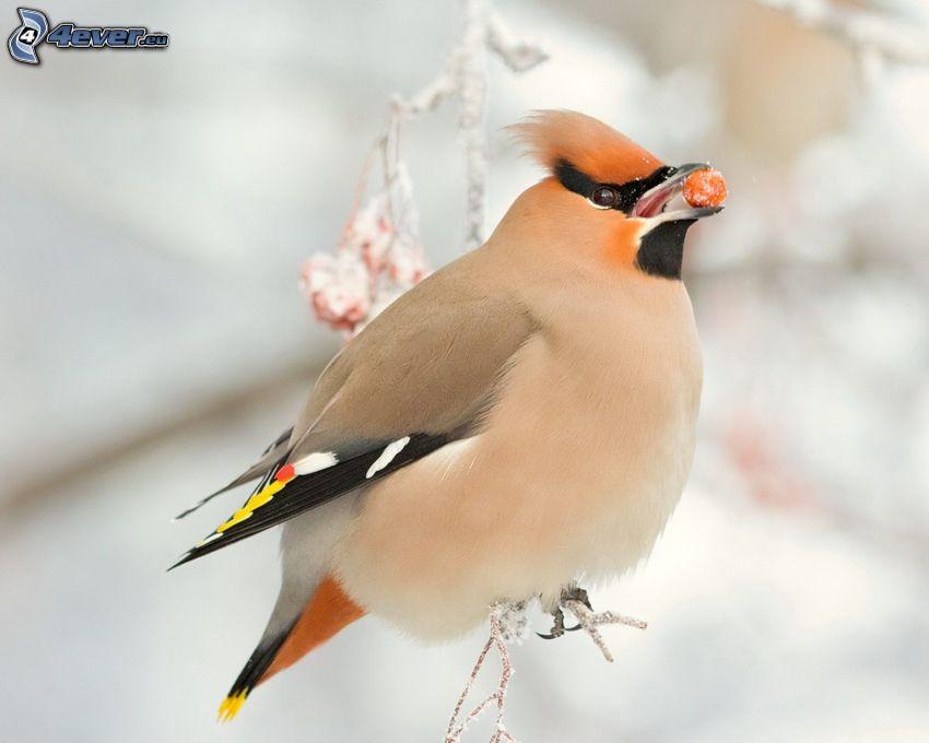uccellino sul ramo, bacca
