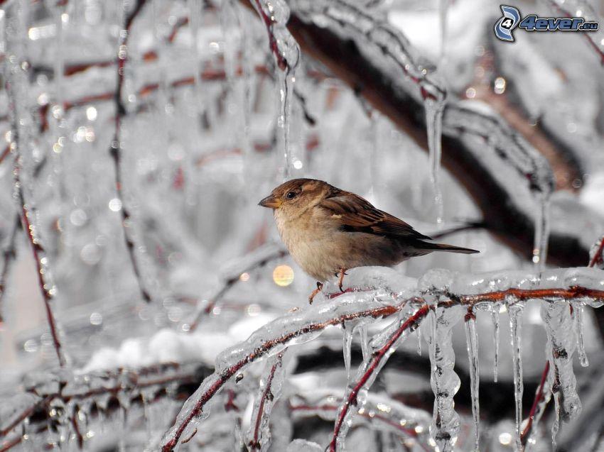 uccellino sul ramo, ghiaccioli, ghiaccio