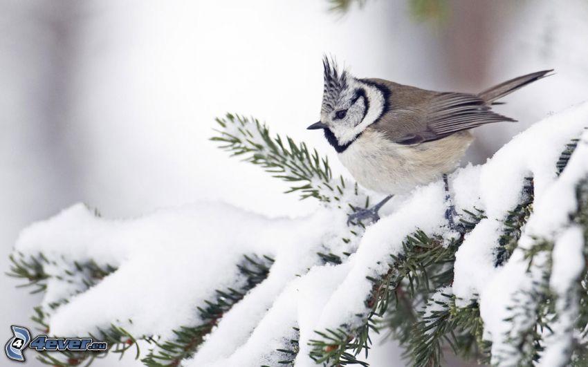 uccello, albero congelato, gelo, neve