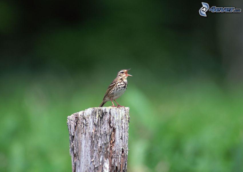 uccello, ceppaia