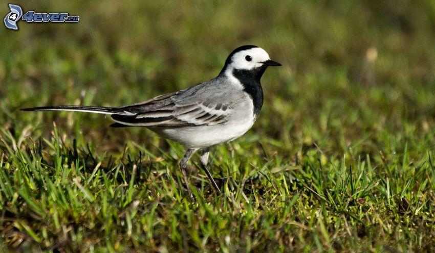 uccello, erba verde
