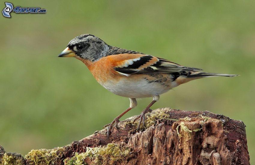 uccello, legno