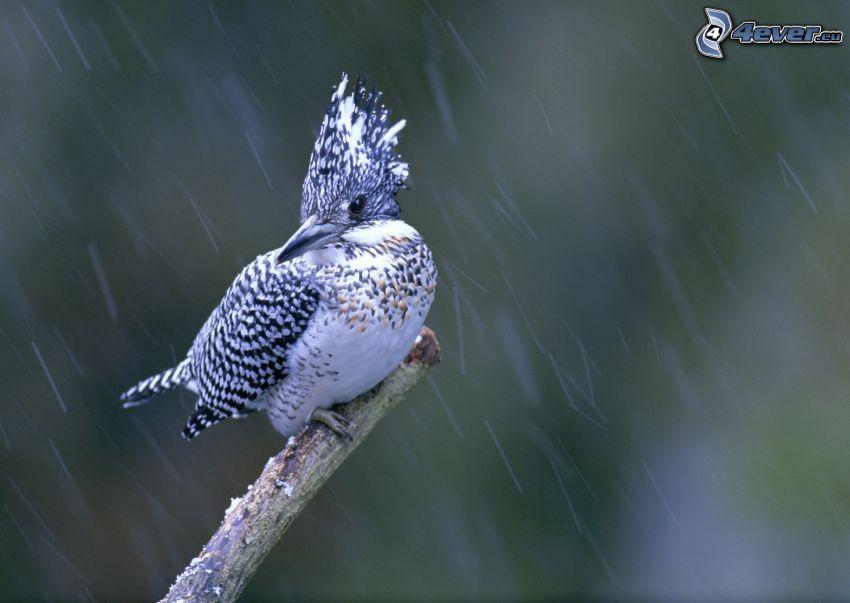 uccello, ramo, pioggia