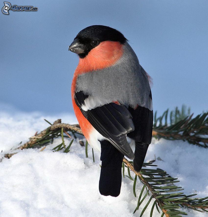 uccello, ramoscello, neve
