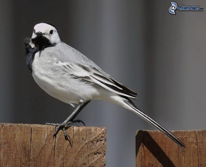 uccello, recinzione