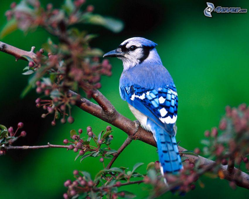 uccello blu su un ramo