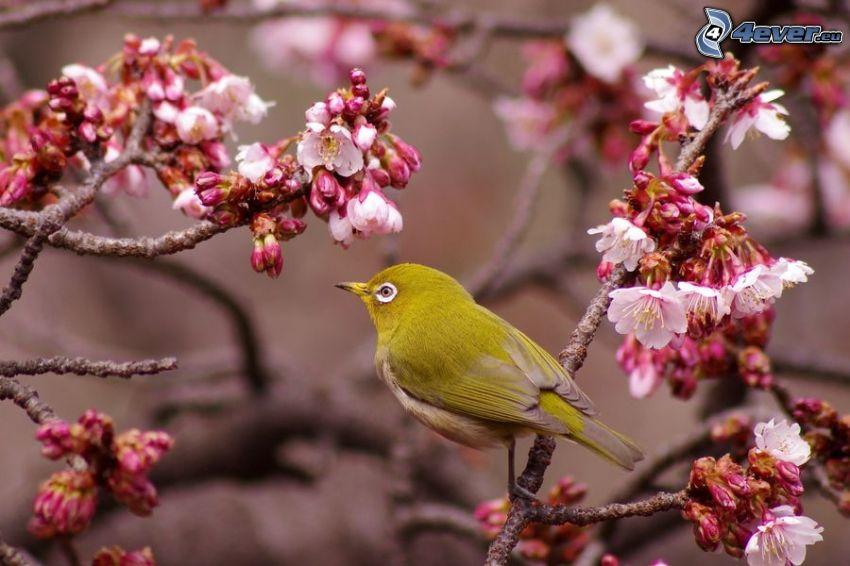 uccello giallo, ciliegio in fiore