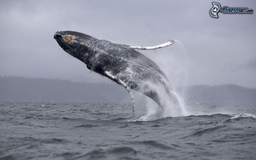 balena, salto, mare