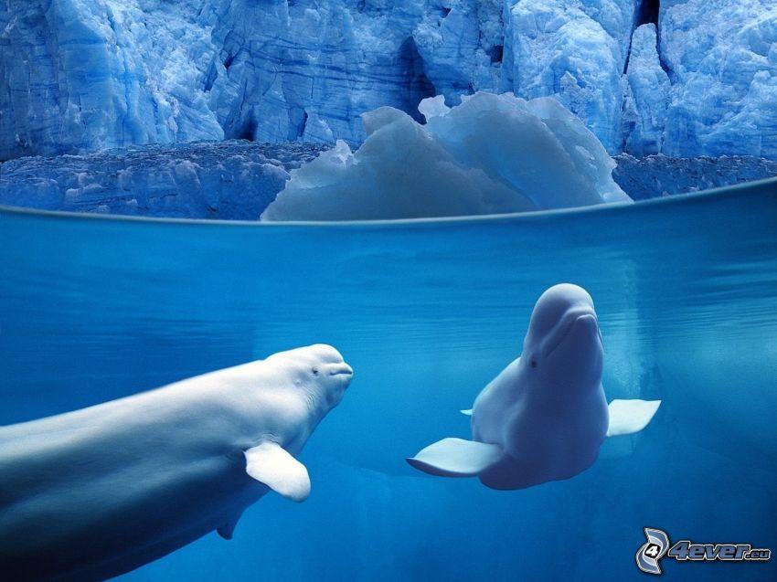 balena bianca, balena, ghiaccio, mare