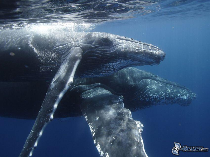 balena gobba, balene