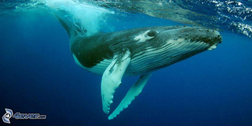 balena gobba