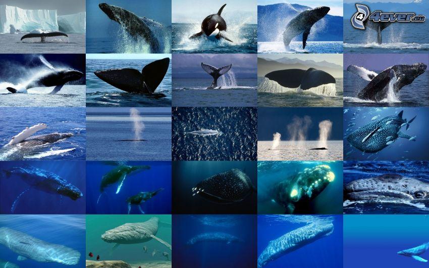 balene, oceano, collage