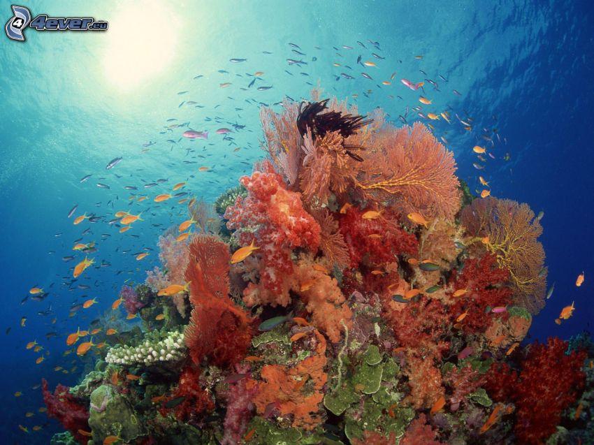 coralli, mare, pesci
