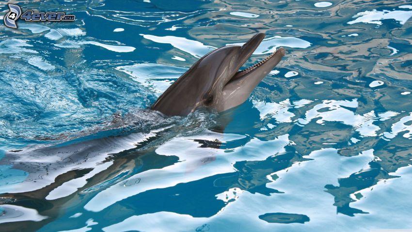 delfino, acqua