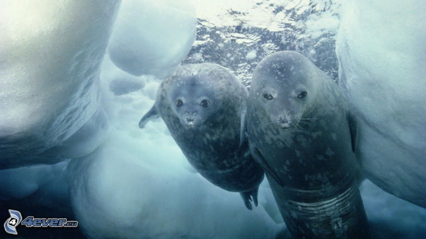 foche, lastre di ghiaccio