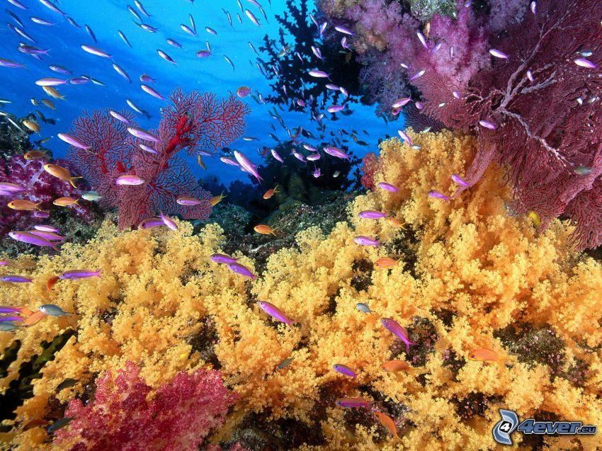 mare corallino, pesci