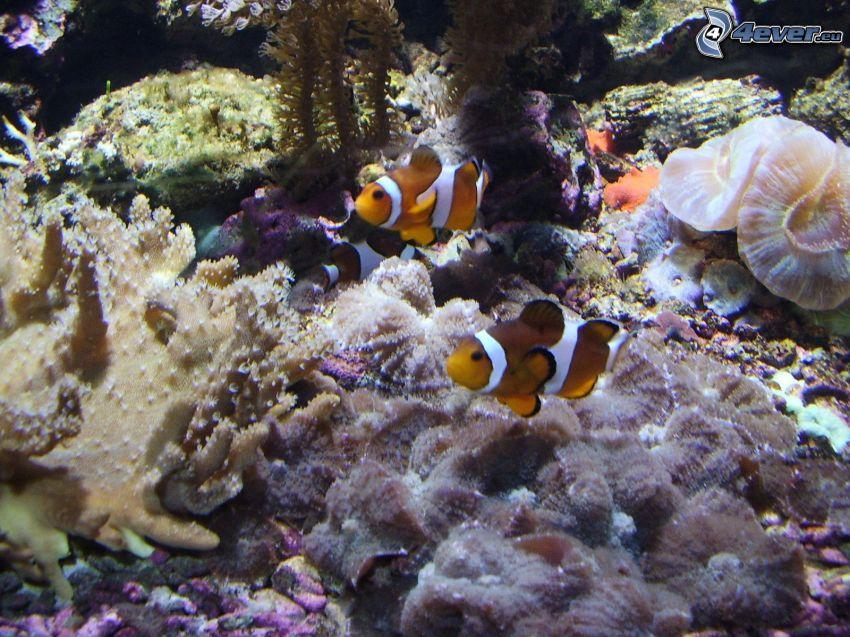 Nemo, pesce, acqua, acquario