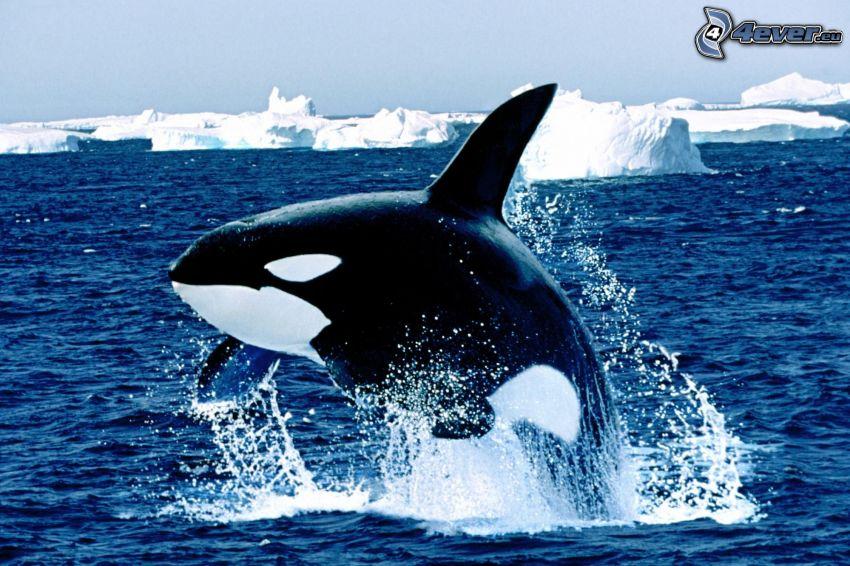 orca, mare, ghiaccio, lastre di ghiaccio