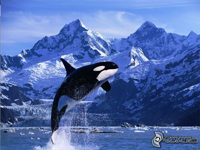 orca, montagna, neve, ghiaccio, mare