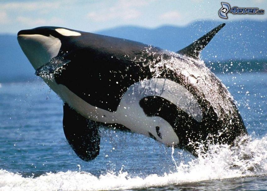 orca, salto, acqua