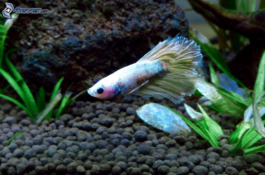 pesce, acquario