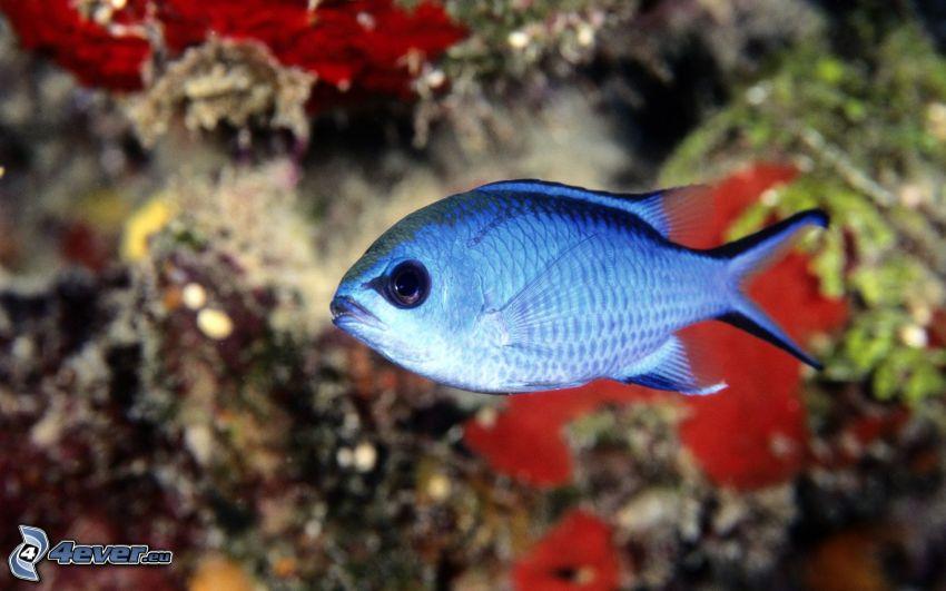 pesce azzurro, Pesce e coralli