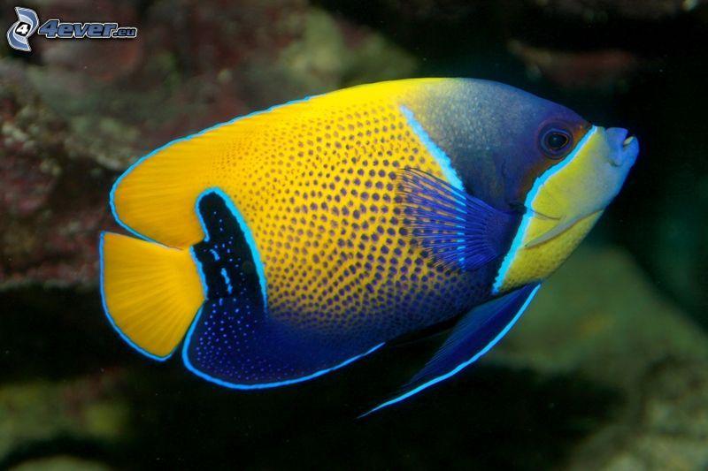 pesce azzurro e giallo