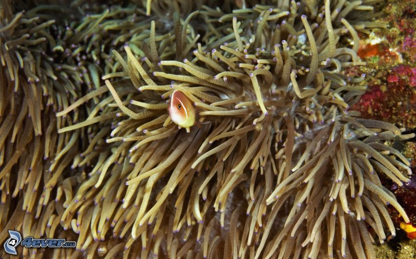 Pesce e coralli, anemoni di mare