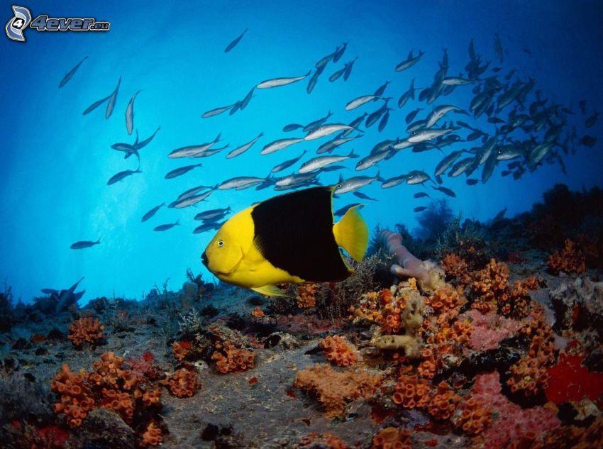pesce giallo, coralli, pesci, acqua