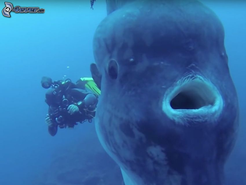 pesce luna, subacqueo