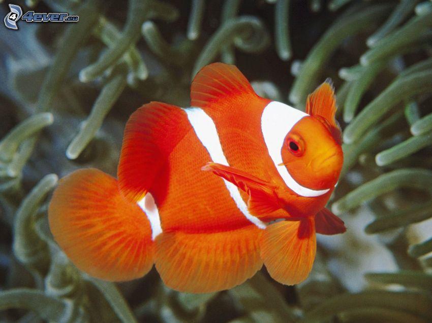 pesce pagliaccio, anemoni di mare, pesce