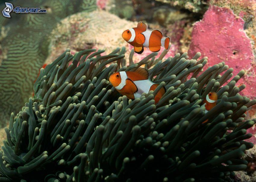 pesce pagliaccio, anemoni di mare