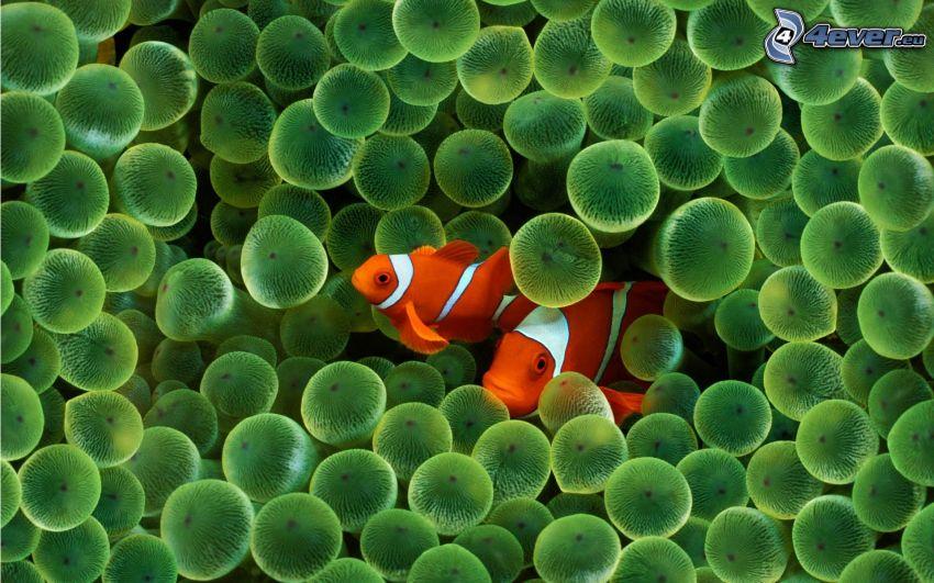 pesce pagliaccio, meduse, pesce, mare, coralli