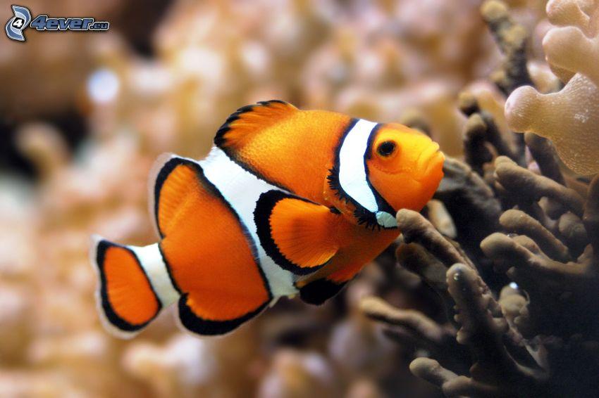 pesce pagliaccio, pesce, anemoni di mare