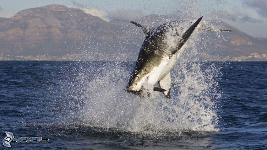 pescecane, salto, mare, caccia