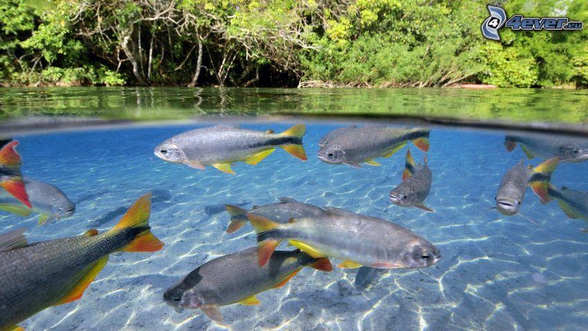 pesci, alberi