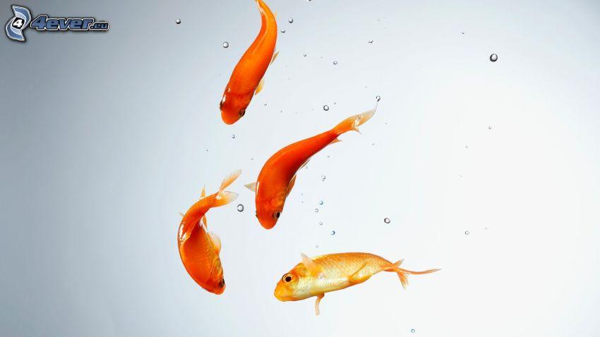 pesci dell'oro
