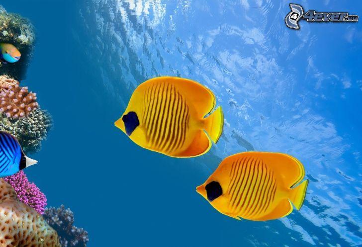 pesci gialle, coralli