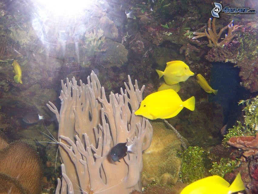 pesci gialle
