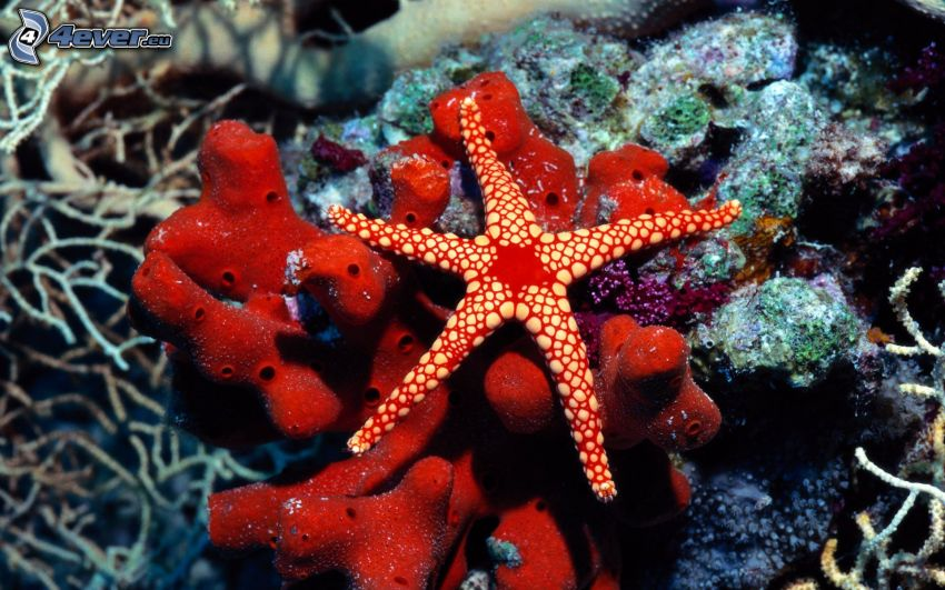 stella di mare, coralli